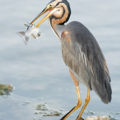 Delta de l'Ebre Grey Heron Fishing