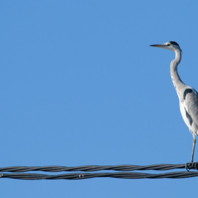 Delta de l'Ebro Grey Heron On Wire