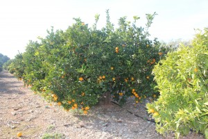 Orange Blossom Coast During Orange Harvest Season
