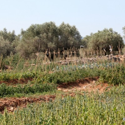 Vida Pura Tomatoes and more growing olive trees