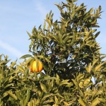 Gastronomic Days of Citrus Fruit in Alcanar