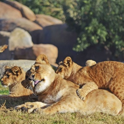Bioparc Lions Cubs Born January 2014