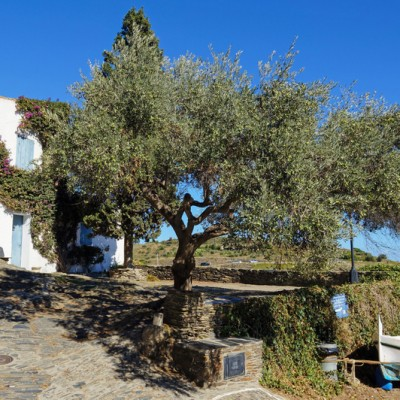 Cadaques Olive Tree By The Water