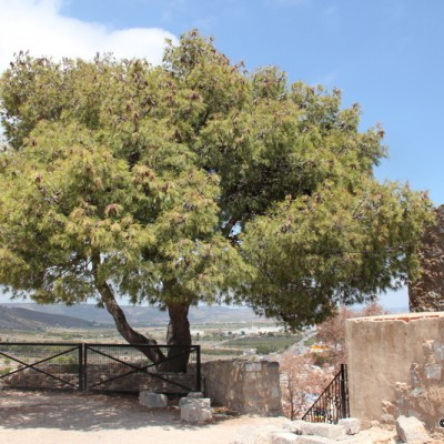 Oropesa del Mar Arab Castle Gorgeous Fragrant Pine Tree