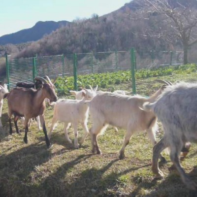 Olot goats in countryside