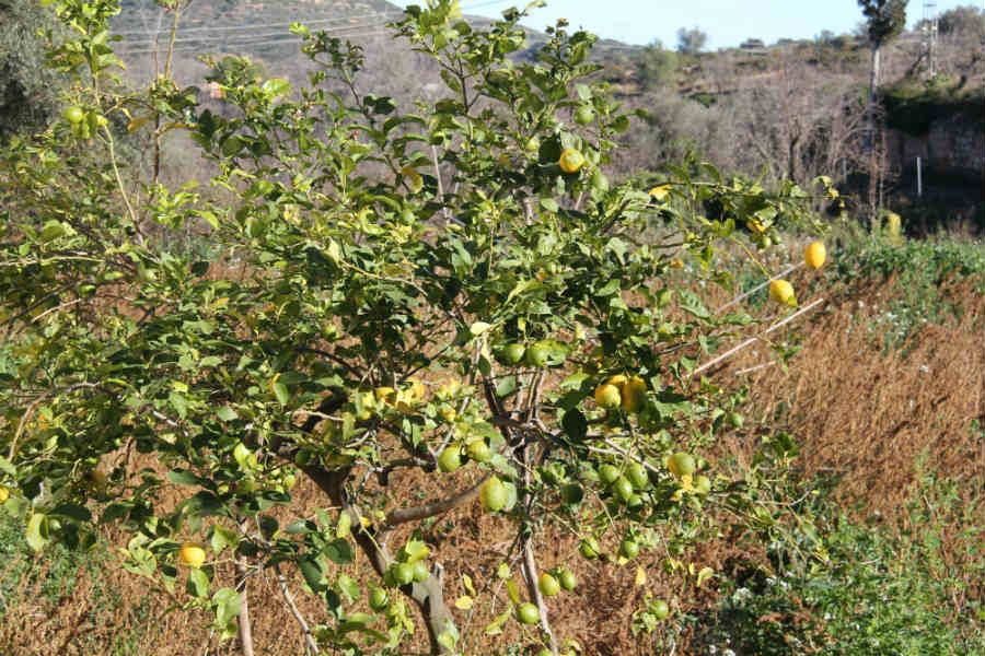 La Jana Spain lemon tree-1